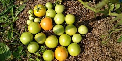 Лирика F1. Полный сбор плодов в открытом грунте