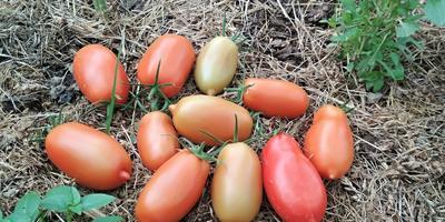 Царское искушение F1. С такими томатами голодными не останемся!