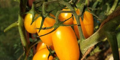 Котя F1. Красивые, вкусные, не рекордные, но в целом урожайные!