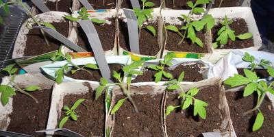 Томат Малиновый великан. III этап. Развитие растений и уход за ними. Пикировка