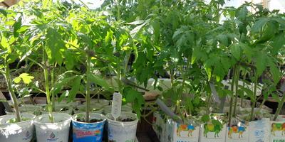Томат Малиновый великан. III этап. Развитие растений и уход за ними (продолжение)