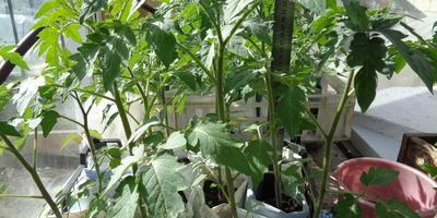 Томат Чудо рынка F1. III этап. Развитие растений и уход за ними (продолжение)