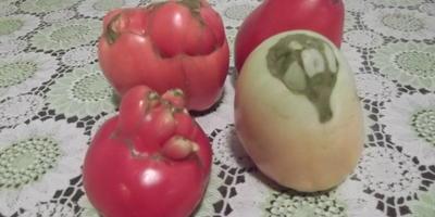 Почему деформируются плоды томатов?