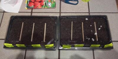 Кто-нибудь пробовал выращивать из семян эти сорта крупноплодной земляники?