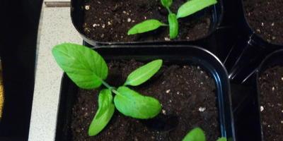 Томат Клондайк. III этап. Развитие растений и уход за ними. Пикировка