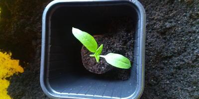 Перец сладкий Большое золото. III этап. Развитие растений и уход за ними. Пикировка