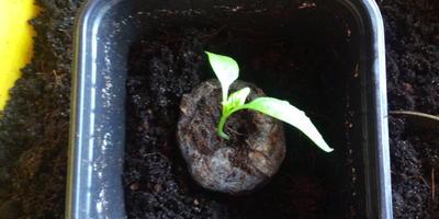 Перец сладкий Кубышка. III этап. Развитие растений и уход за ними. Пикировка