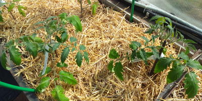 Мульчирование грядок с конкурсными томатами
