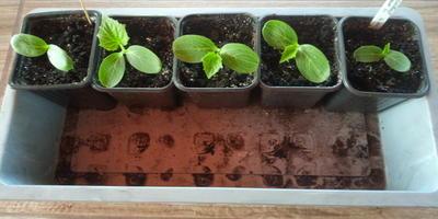 Огурец Пучковый десант F1. III этап. Развитие растений и уход за ними