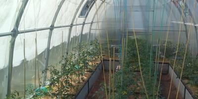Секрет защиты растений от жары в теплице