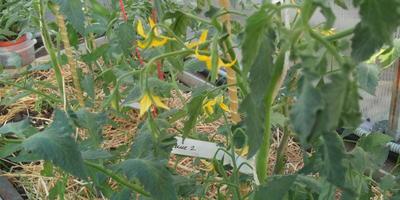 Цветение конкурсных томатиков