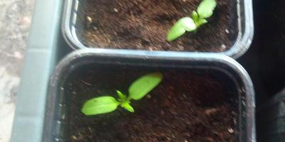 Томат Знаменитое бычье сердце. III этап. Развитие растений и уход за ними. Пикировка