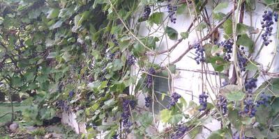Украшенье сада - кисти винограда!