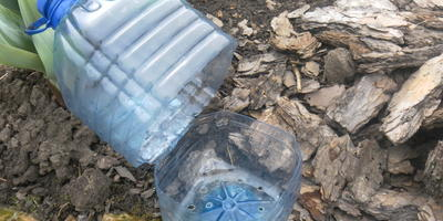 Мини-тепличка: мой секрет размножения метельчатых гортензий