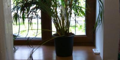 Что за растение? Почему стало желтеть?