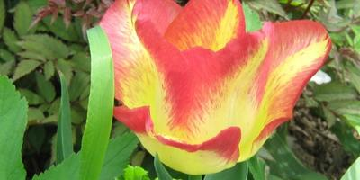 Мои цветы.  Первые успешные шаги в освоении дачи