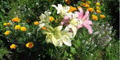 Мои цветы. Лилии и гладиолусы