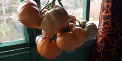 Помогите, пожалуйста, определить сорт томата