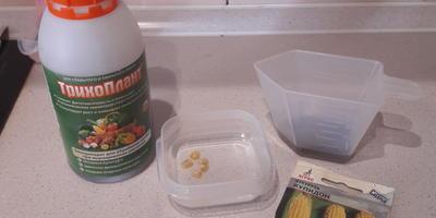 Как я готовила к посеву семена кукурузы