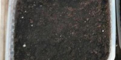 Петуния Марко Поло мятный лайм F1. I этап. Посев