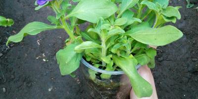Комплиментуния лимонно-синяя F1. IV этап. Развитие растений и уход за ними
