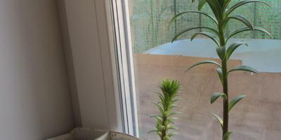 Лилии в Сибири, или Что делать, если вы купили лилии рано весной