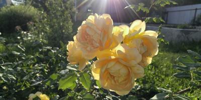 Самые мои любимые цветы - розы =) Розы в Сибири - возможно!
