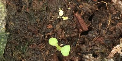 Комплиментуния лимонно-синяя F1. II этап. Всхожесть. Появление пары настоящих листьев