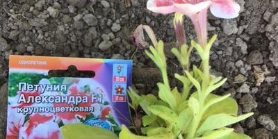 Петуния Александра F1. IV этап. Развитие растений до высадки в открытый грунт