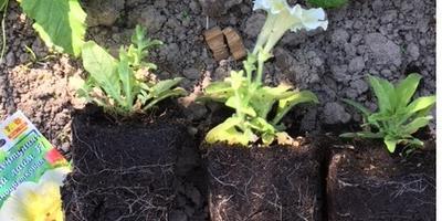 Комплиментуния мятный лайм F1. IV этап. Развитие растений до высадки в открытый грунт