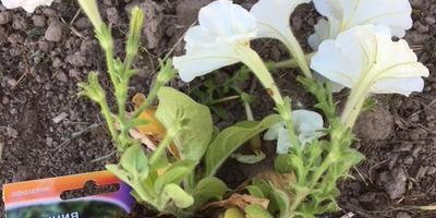Петуния Джолли белая F1. IV этап. Развитие растений до высадки в открытый грунт