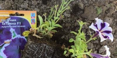 Петуния Татьяна F1. IV этап. Развитие растений до высадки в открытый грунт