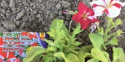 Петуния Марко Поло красно-белая F1. IV этап. Развитие растений до высадки в открытый грунт