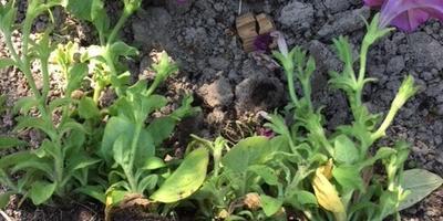 Комплиментуния розовая F1. IV этап. Развитие растений до высадки в открытый грунт