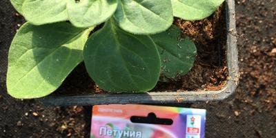 Петуния Синеглазка F1. IV этап. Развитие растений до высадки в открытый грунт
