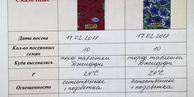 Петуния Василиса Премудрая F1. II этап. Всходы