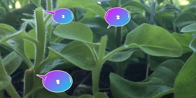 Петуния Марко Поло звездная ночь F1. IV этап. Развитие растений и уход за ними.