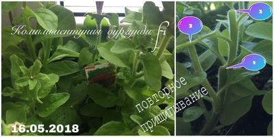 Комплиментуния бургунди F1. IV этап. Развитие растений и уход за ними