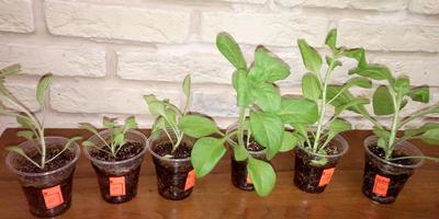 Петуния Александра F1. IV этап. Развитие растений и уход за ними
