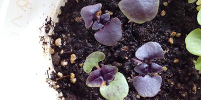 Базилик Русский гигант фиолетовый. Появление настоящих листьев