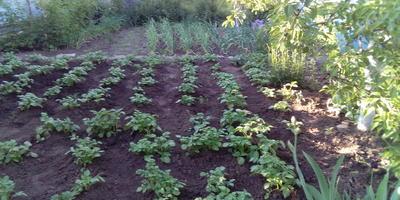Домашняя работа №4. Здоровый картофель: как выбрать и подготовить клубни к посадке