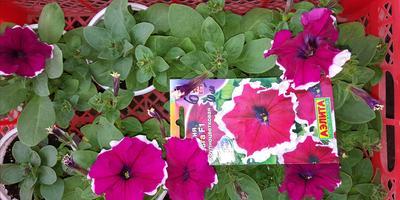 Петуния Ольга F1.  IV этап. Развитие растений и уход за ними. Первые цветы