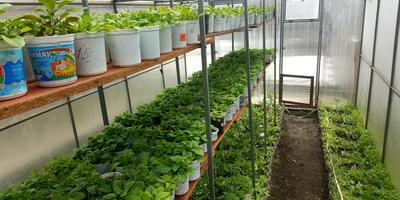 Петуния Марко Поло красная F1. IV этап. Развитие растений и уход за ними. Первые цветы