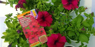 Петуния Марко Поло бургунди F1. IV этап. Развитие растений и уход за ними. Первые цветы