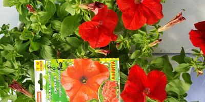 Комплиментуния красная F1. IV этап. Развитие растений и уход за ними. Первые цветы
