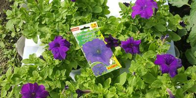Комплиментуния голубая F1. IV этап. Развитие растений и уход за ними. Первые цветы