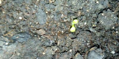 Комплиментуния мятный лайм F1. II этап. Всходы - появление настоящих листьев