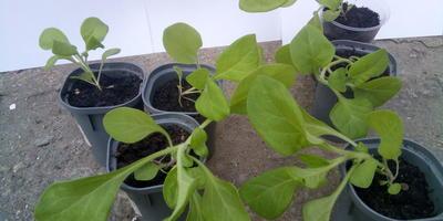 Комплиментуния лиловая F1. IV этап. Развитие растений и уход за ними
