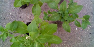 Петуния Марко Поло звездная ночь F1. IV Этап. Развитие растений и уход за ними