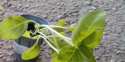 Петуния Синеглазка F1. IV Этап. Развитие растения и уход за ним